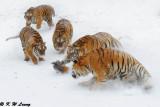 Siberian Tiger DSC_7923