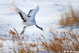 Red-Crowned Crane DSC_9789