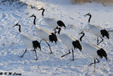Red-Crowned Crane DSC_9802