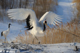 Red-Crowned Crane DSC_9720