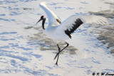 Red-Crowned Crane DSC_9796