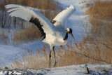 Red-Crowned Crane DSC_9723