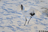 Red-Crowned Crane DSC_9799