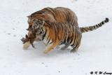 Siberian Tiger DSC_7929