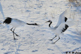 Red-Crowned Crane DSC_9634