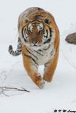 Siberian Tiger DSC_7952