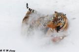 Siberian Tiger DSC_8017
