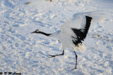 Red-Crowned Crane DSC_9758
