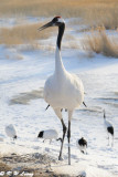 Red-Crowned Crane DSC_9736