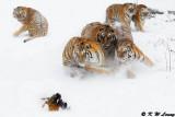 Siberian Tiger DSC_7881