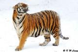 Siberian Tiger DSC_7915
