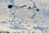 Red-Crowned Crane DSC_9631