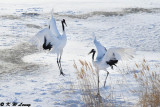 Red-Crowned Crane DSC_9647