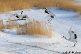 Red-Crowned Crane DSC_9558
