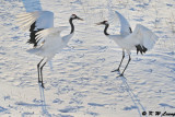 Red-Crowned Crane DSC_9632