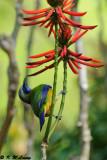 Orange-bellied Leafbird DSC_2249