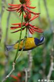 Orange-bellied Leafbird DSC_2258