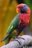 Rainbow Lorikeet  06