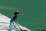 White-throated Kingfisher DSC_8342