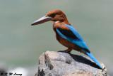 White-throated Kingfisher DSC_8459