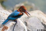 White-throated Kingfisher DSC_8827