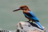 White-throated Kingfisher DSC_8431