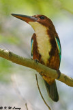 White-throated Kingfisher DSC_8486