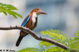 White-throated Kingfisher DSC_9397