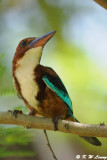 White-throated Kingfisher DSC_8502