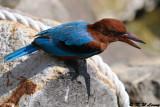 White-throated Kingfisher DSC_8838