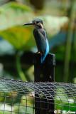 Common Kingfisher DSC_0758