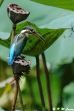 Common Kingfisher DSC_0779