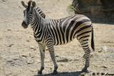 Zebra DSC_2123