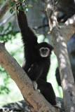White-handed gibbon DSC_2088