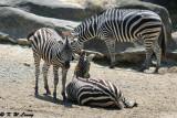 Zebras DSC_2132