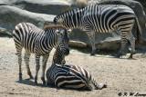 Zebras DSC_2129