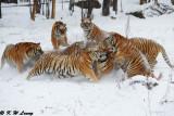 Siberian Tiger DSC_7819