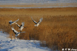 Red-Crowned Crane DSC_9567