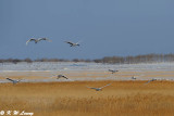 Red-Crowned Crane DSC_9572