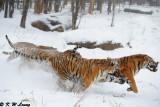Siberian Tiger DSC_7822