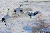 Red-Crowned Crane DSC_9645