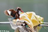 White-throated Kingfisher DSC_9301