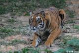 Tiger DSC_3280