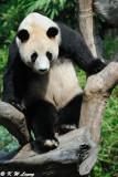 Panda DSC_3126