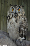 Eurasian Eagle Owl DSC_3375