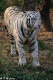White Tiger DSC_3291