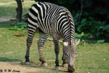 Zebra DSC_3352