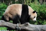 Panda DSC_3124