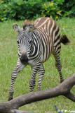 Zebra DSC_2839