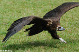 Golden Eagle DSC_2824